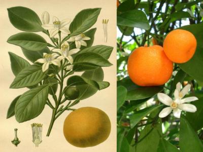 Mandarino Rosso